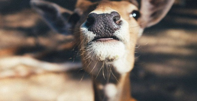 Nose or Mouth in Meditation Deer